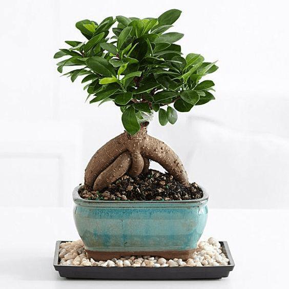 Cây si Nhật bonsai