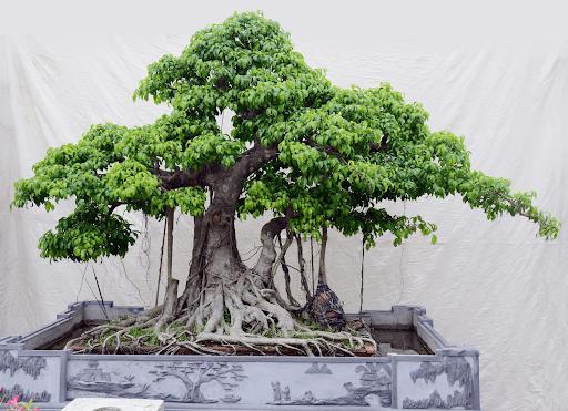 Cây si cảnh dáng bonsai